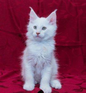 Чистокровные котята Мейн Кун