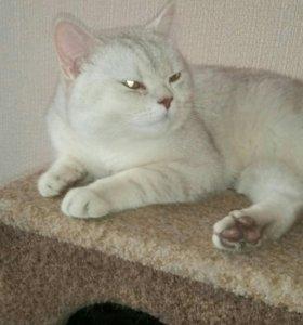 Котик редкого окраса. Красная шиншила