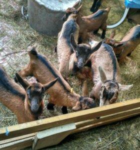 Козлики и козочки, альпийские и чешские