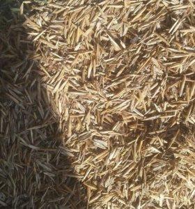 Семена костра