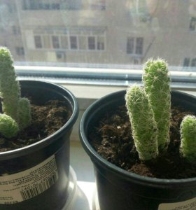 Отростки кактуса