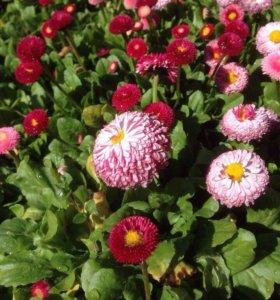 Рассада грунтовых цветов