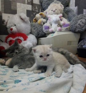Продам котят. Британцы