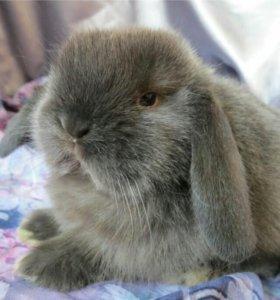 Декоративный вислоухий мини-кролик