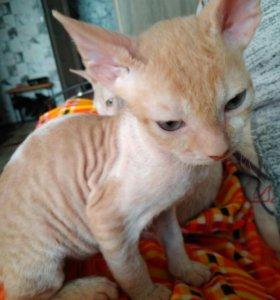 Донской сфинкс-котик