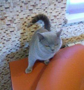 Британский кот лиловый