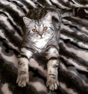 Шотландская мраморная кошечка ищет котика на вязку