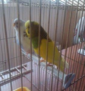 Волнистые попугаи:мальчик и девочка