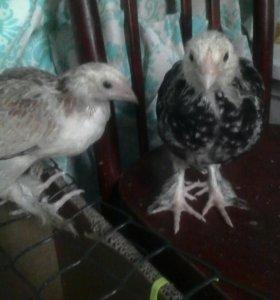 Птенцы Фавероль