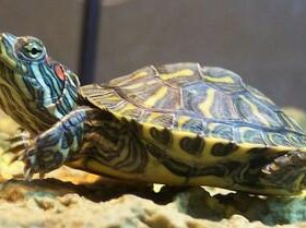 Красноухие черепахи