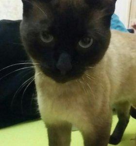 Сиамский кот на вязку