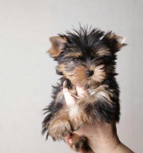 Продам очаровательных щенков йоркширского терьера