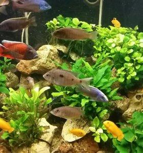 Аквариумные рыбки (малавийские цихлиды)