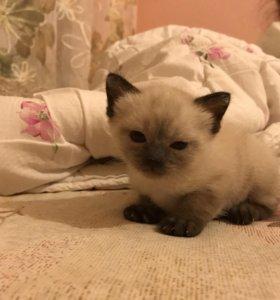 Котёнок Меконский бобтейл