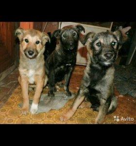 Сторожевые собаки (щенки)