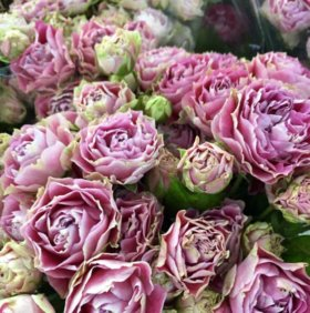 Роза пион из коллекции Roberto