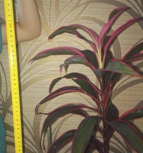 Комнатное растение ,,Кордилина,,