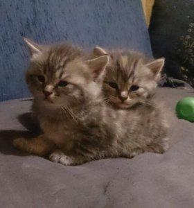 Отдам породистых котят вместе мамой