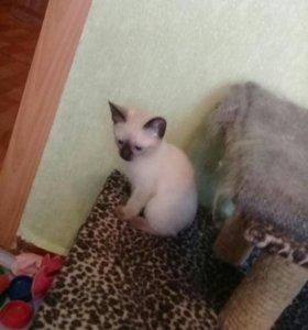 Продам сиамских котяток