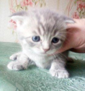 Котята британские (вислоухие)