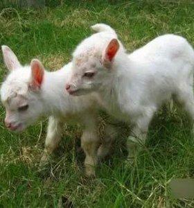 Продаются козлята