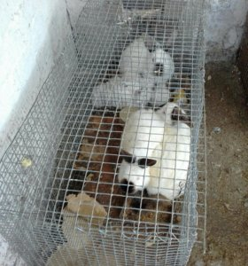 Продается кролики