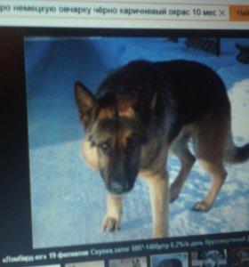 Пропала собака немецкая овчарка
