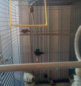 Птички амадинки