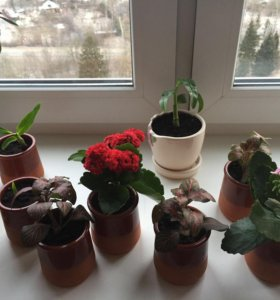 Каланхоэ, орхидея, фиттония Джосан