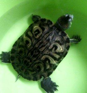 Красноухая ,водоплавающая,черепаха