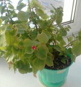 Бегония цветок