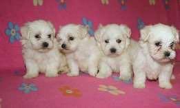 Готовятся к продаже щенки мальтийской болонки