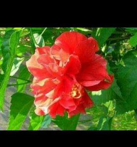 Гибискус-Цветет(роза махровая)