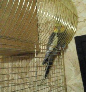 Попугай карела самец