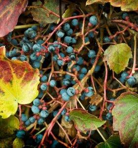 Сеянцы винограда Вича листопадная лиана