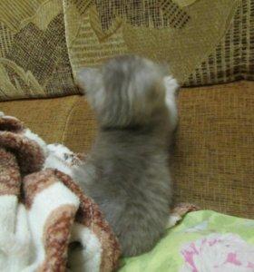 Продаю котенка(девочка)