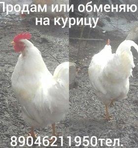 Дамашняя птица
