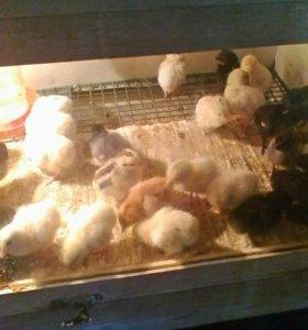 Цыплята суточные .