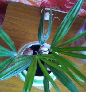 Японская веерная пальма Трахикарпус Форчуна