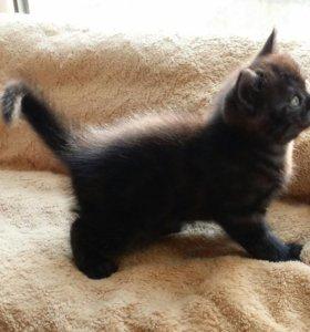 Красавец Шотландский котик! Черный дым.