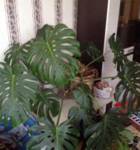 Растение монстера