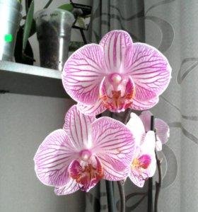 Цветущие орхидни