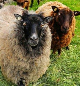 Овцы ягнятки коза и козочка