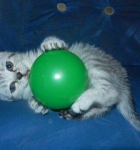 Чистокровный шотландский прямоухий котёнок