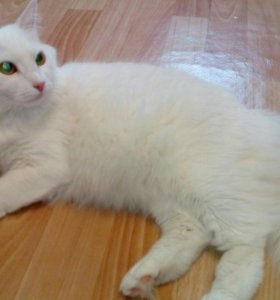 Кошка белая, стерилизованная, 3 годика