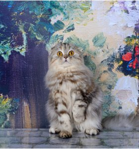 Шотландская кошечка Кассиопея,продажа
