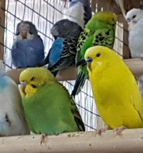 Попугайчики волнистые молодые