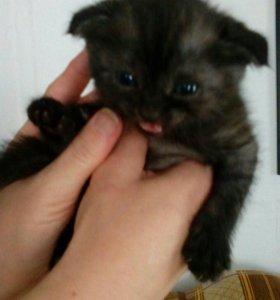 Котёнок шотландский вилоухий