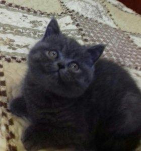 Британский голубой котик