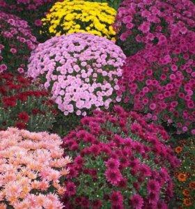 Хризантема мультифлора